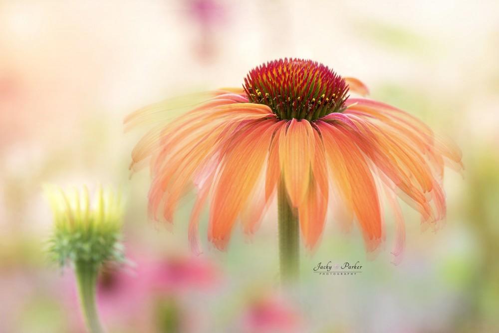 EchinaceaHotSummerWM.jpg